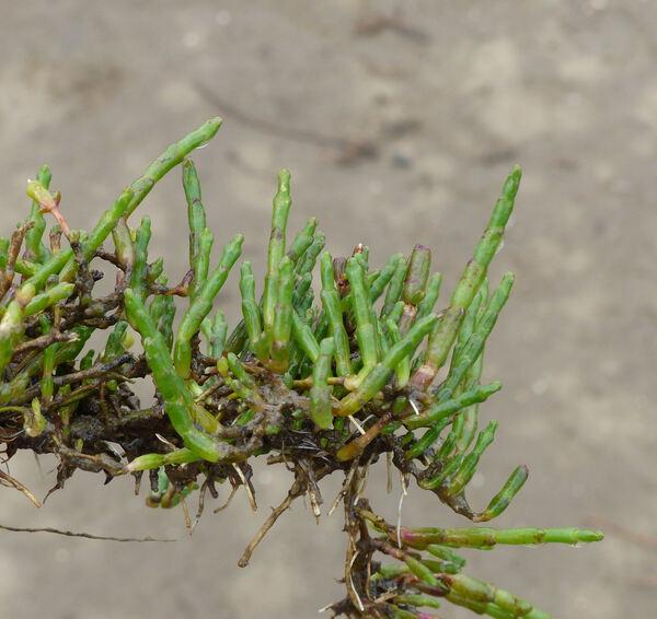 Salicornia perennis Mill. subsp. perennis