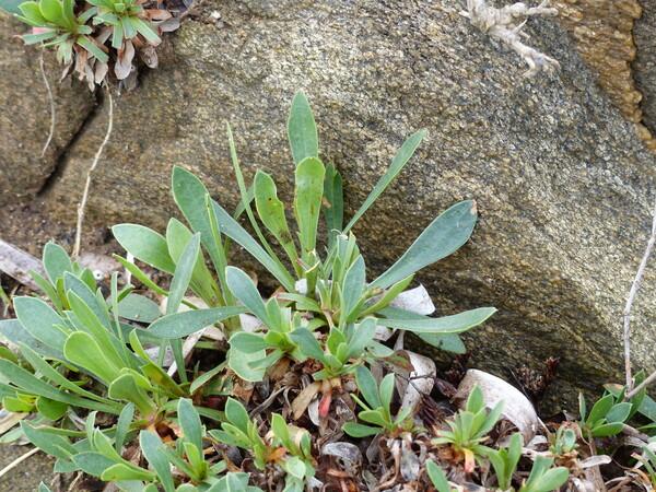Limonium laetum (Nyman) Pignatti