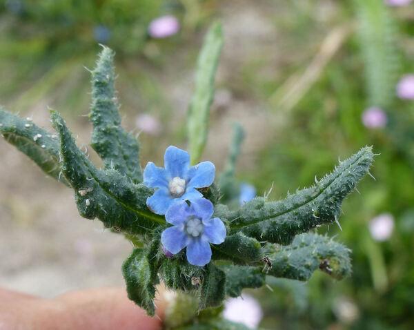 Anchusa crispa Viv. subsp. crispa