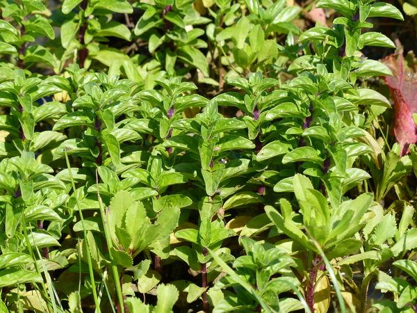 Mentha pulegium L. subsp. pulegium