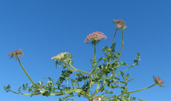 Daucus carota L. subsp. hispanicus (Gouan) Thell.