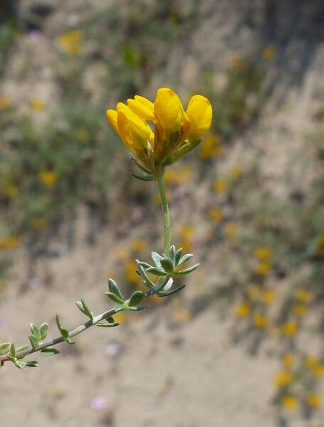 Lotus creticus L.
