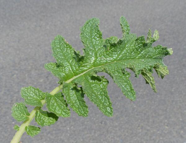 Verbascum conocarpum Moris subsp. conocarpum