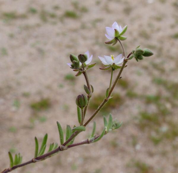 Spergularia macrorhiza (Req. ex Loisel.) Heynh.