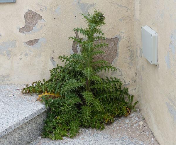 Carduus cephalanthus Viv.