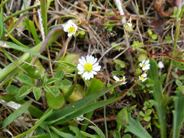 Bellis annua L. subsp. minuta (DC.) Meikle