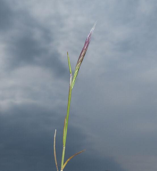 Festuca fasciculata Forssk.