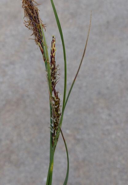Carex flacca Schreb.