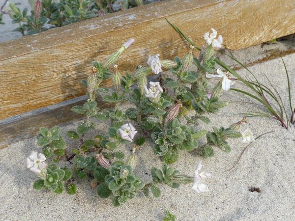 Silene succulenta Forssk. subsp. corsica (DC.) Nyman