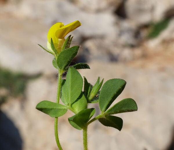 Lotus edulis L.