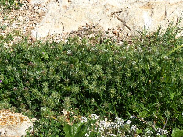 Trifolium stellatum L.