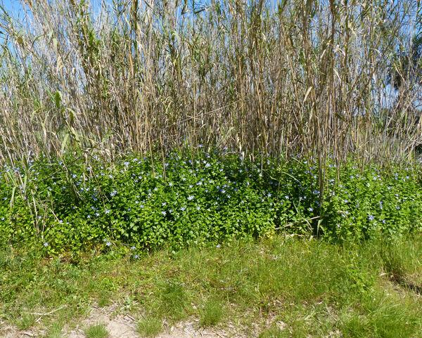 Vinca difformis Pourr. subsp. sardoa Stearn