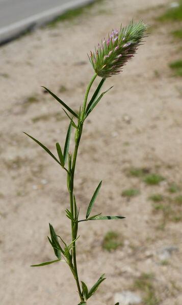 Trifolium angustifolium L. subsp. angustifolium