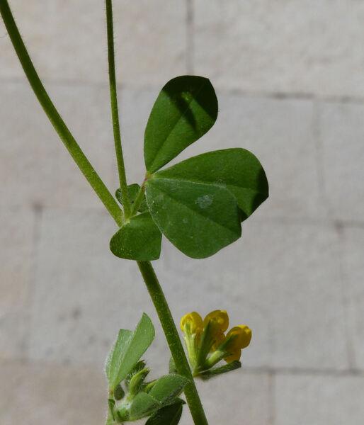 Lotus ornithopodioides L.