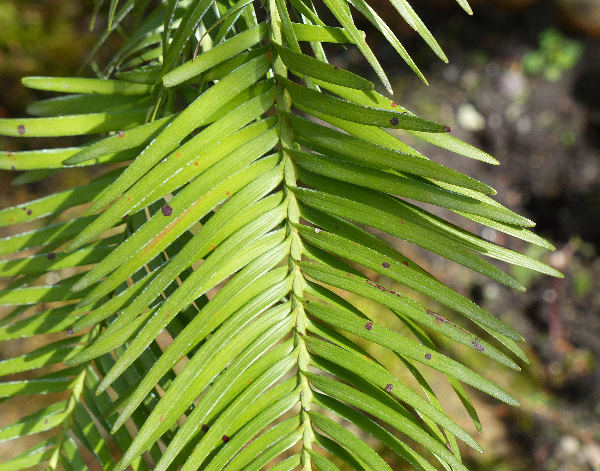 Wollemia nobilis W.G.Jones, K.D.Hill & J.M.Allen