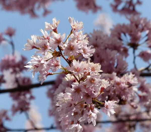 Prunus subhirtella Miq. 'Fukubana'