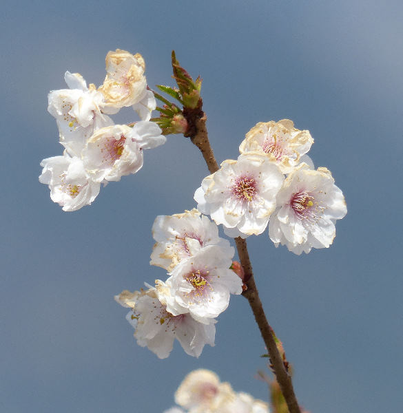 Prunus subhirtella Miq. 'Hally Jolivette'