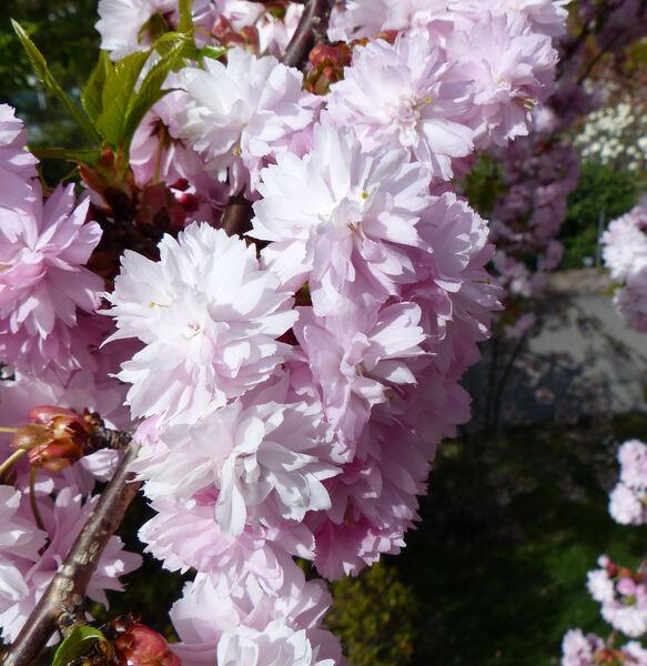 Prunus serrulata Lindl. 'Kiku-shidare'