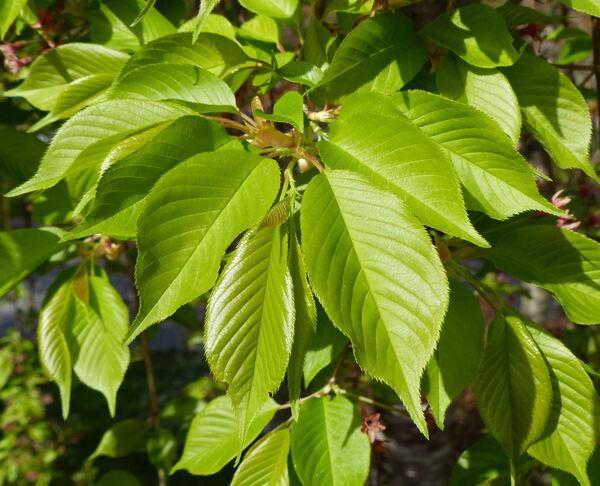 Prunus x yedoensis Matsum. 'Shidare Yoshino'