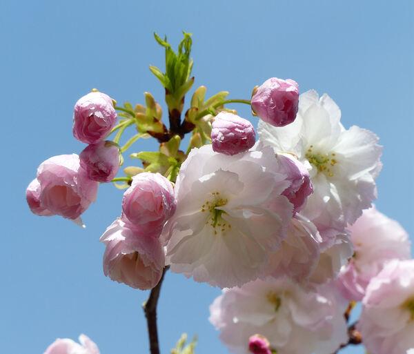 Prunus serrulata Lindl. 'Shimidsu'