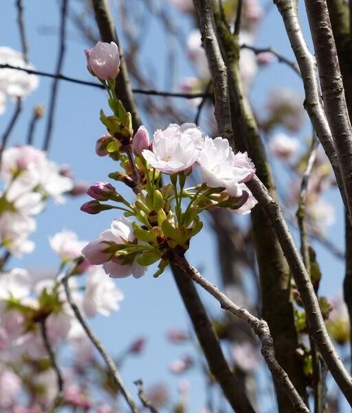 Prunus serrulata Lindl. 'Amanogawa'
