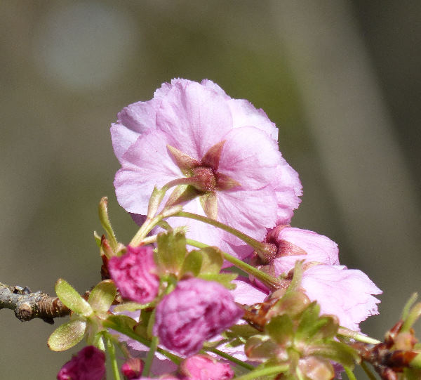 Prunus serrulata Lindl. 'Pink Perfection'