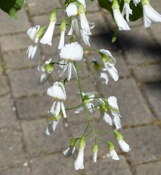 Cladrastis lutea (Michx. f.) K. Koch