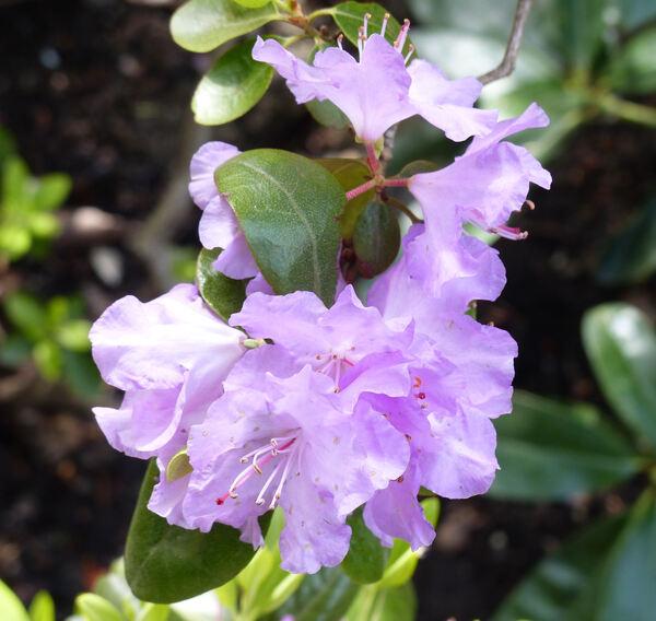 Rhododendron carolinianum Rehd. 'PJM Checkmate'