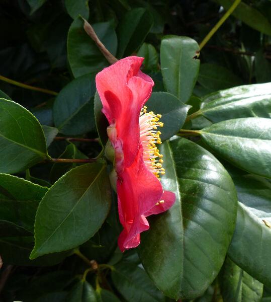 Camellia japonica L. 'Momiji Gari'