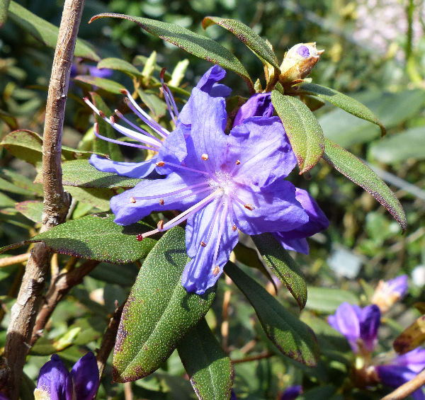 Rhododendron lapponicum (L.) Wahlenb.