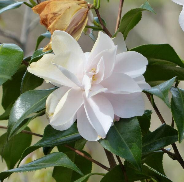 Camellia japonica L. 'Hagoromo'