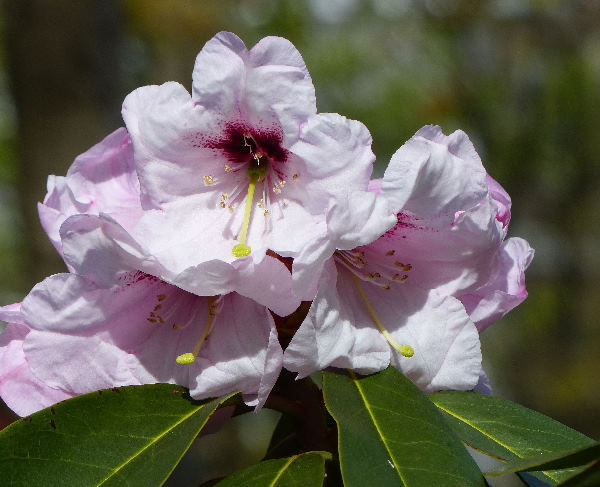 Rhododendron calophytum (C. B. Clarke) Ridley x Rhododendron fortunei Lindl.
