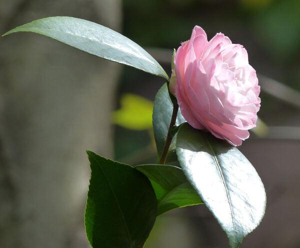 Camellia japonica L. var. rusticana (Honda) T. L. Ming 'Mizuyoshi'