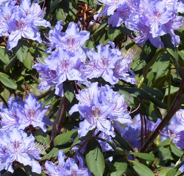 Rhododendron augustinii Hemsl.