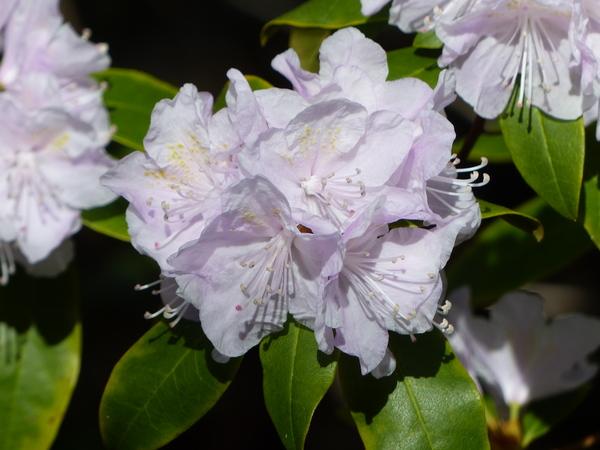 Rhododendron dauricum L. 'April Dawn'