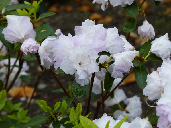 Rhododendron dauricum L. 'April Reign'