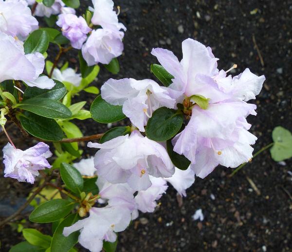 Rhododendron 'Santiago'