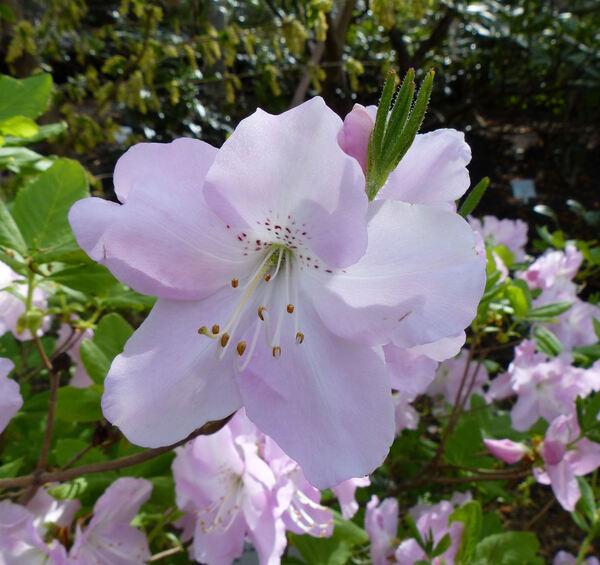 Rhododendron schlippenbachii Maxim.