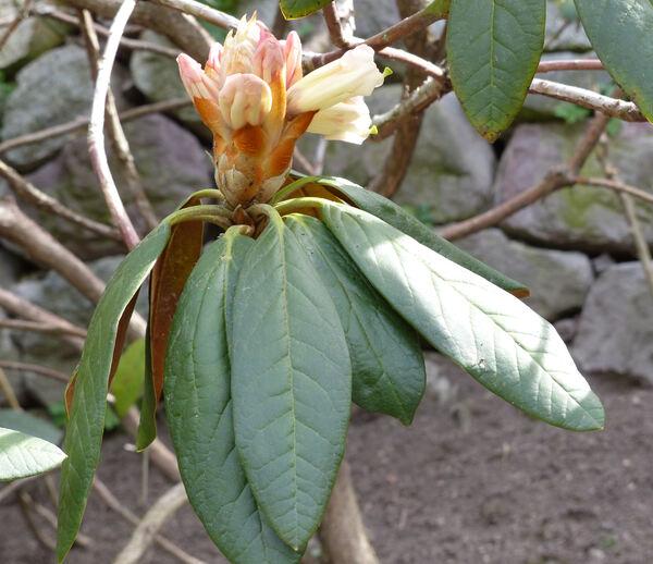 Rhododendron wightii J. D. Hooker