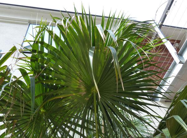 Livistona australis (R. Br.) Mart.