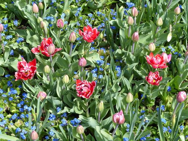 Tulipa 'David Teniers'