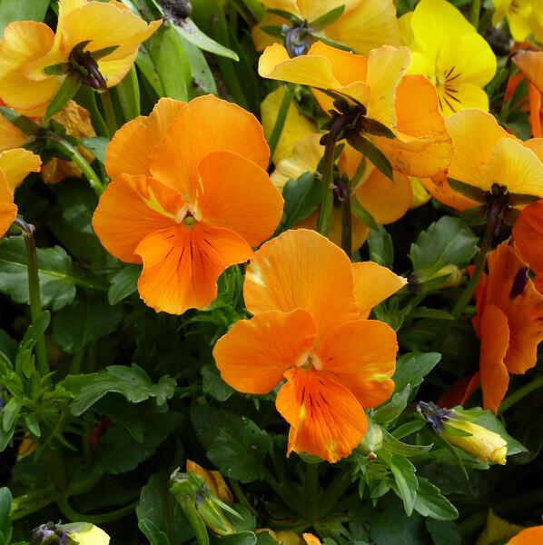 Viola cornuta L. 'Penny Citrus Mix'
