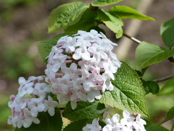 Viburnum carlesii Hemsl.
