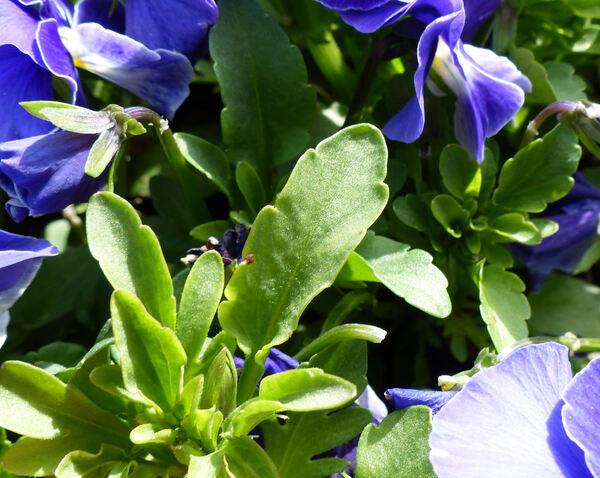 Viola cornuta L. 'F1 Sorbet Delft Blue'