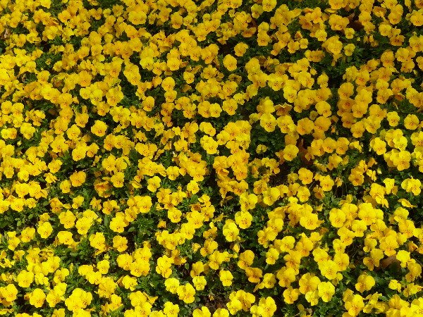 Viola cornuta L. 'f1 Sorbet Yellow Delight'