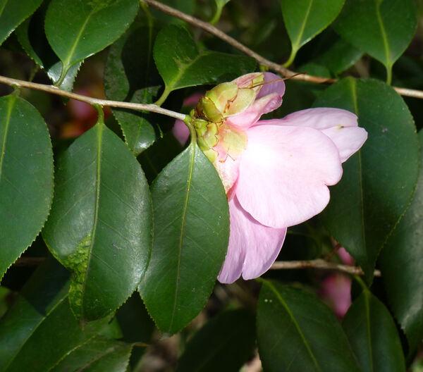 Camellia uraku Kitam.