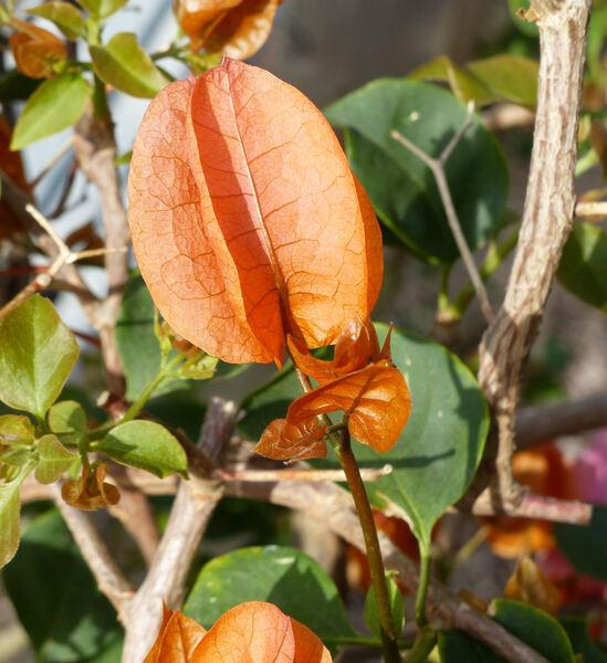 Bougainvillea x buttiana hort. 'Praetoria'