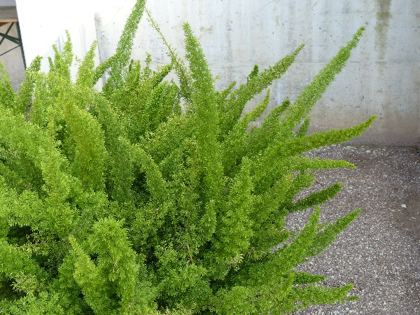 Asparagus densiflorus (Kunth) Jessop 'Myersii'