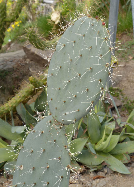 Opuntia robusta H.L.Wendl. ex Pfeiff.