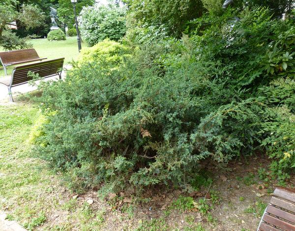 Juniperus squamata Lambert